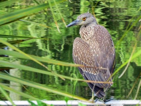 juvenile night heronSand Key park Clearwater Florida