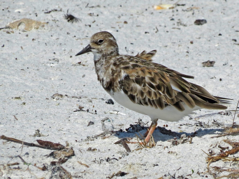 juvenile Ruddy Turnstone Sand Key beach, Clearwater, Florida