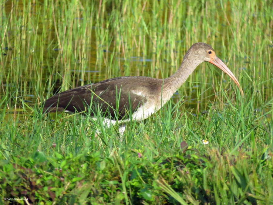 juvenile white ibis Sand Key Park, Clearwater, Florida