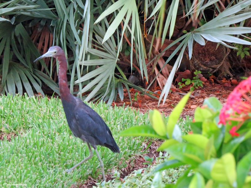 little blue heron in our garden ud21