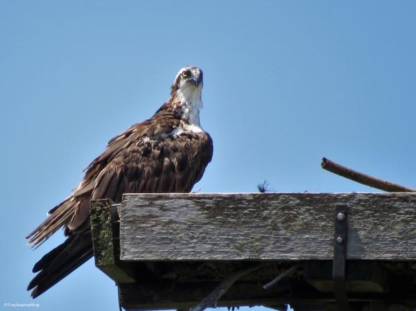 female osprey Sand Key park Clearwater Florida