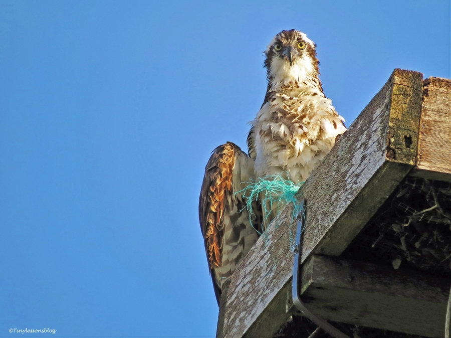 mama osprey at the nest UD21