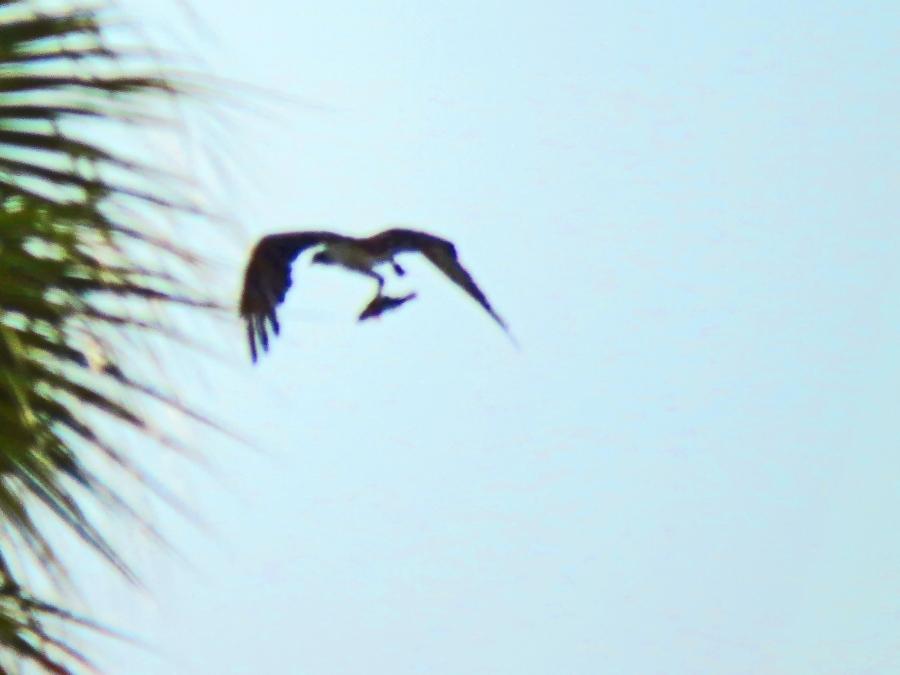 mama osprey with a fish ud22
