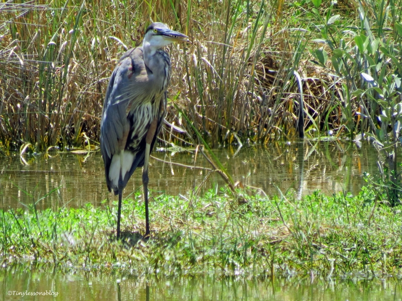 mayor great blue heron