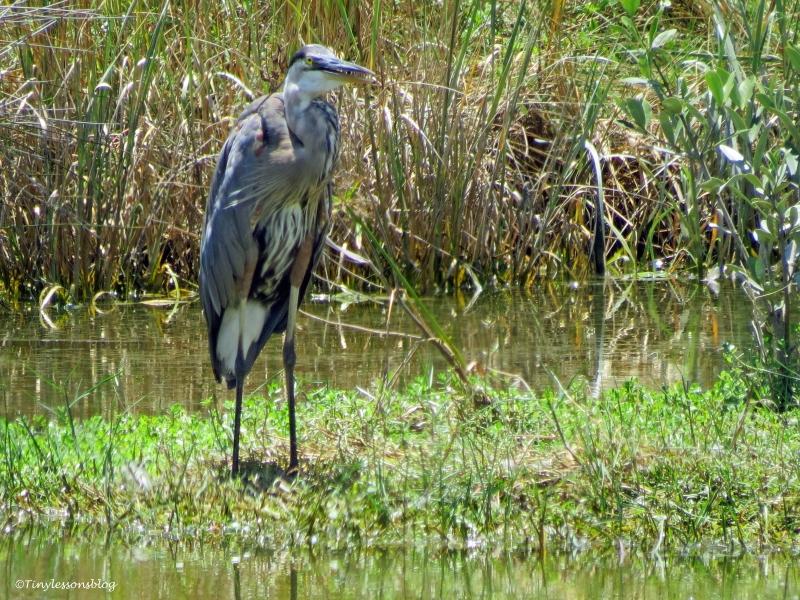 mayor great blue heron