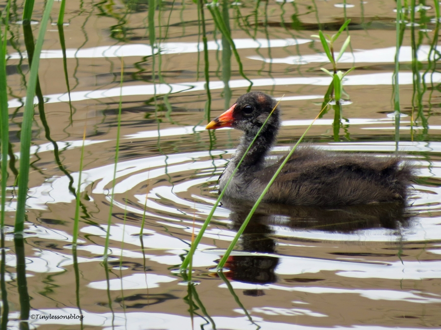 moorhen chick Sand Key park Clearwater Florida