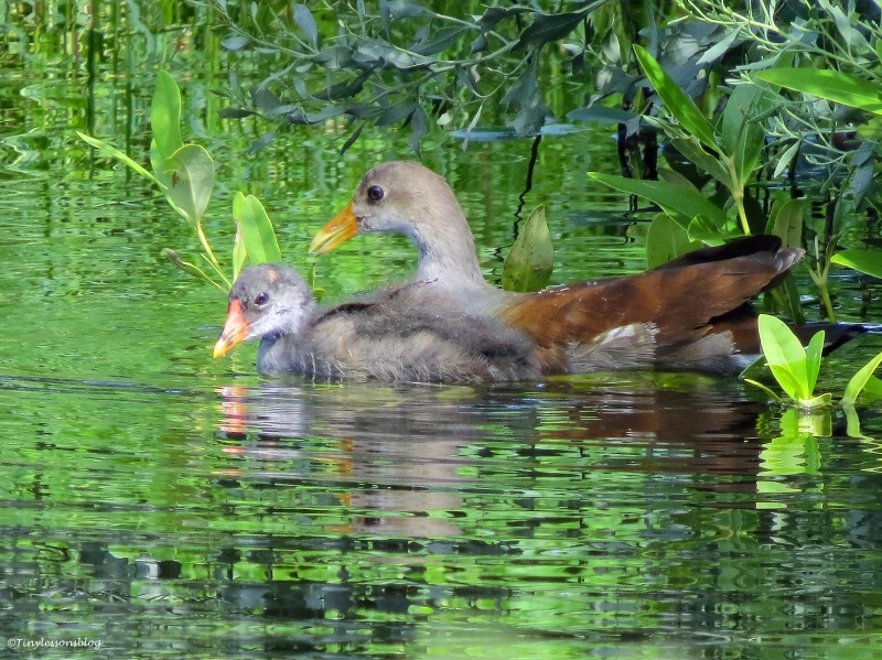 moorhen chick and a juvenile moorhen Sand Key park Clearwater Florida