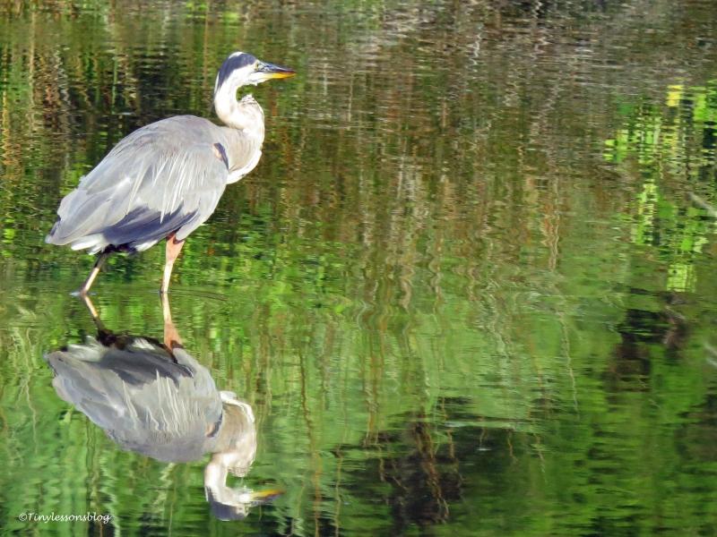 older blue heron ud22