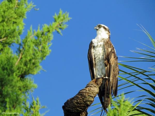 papa osprey in his resort ud21