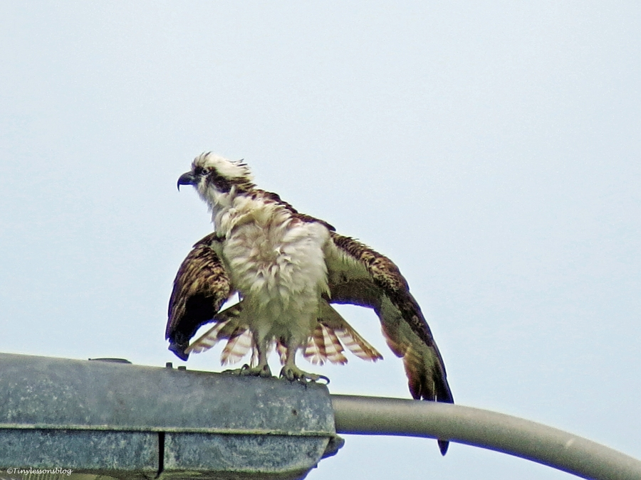male osprey on a lamp post sand key clearwater florida