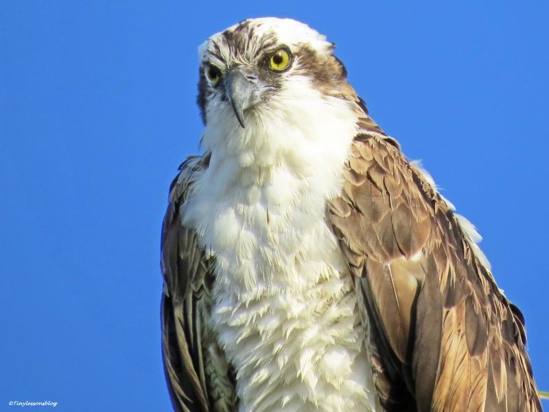 papa osprey portraIT 2 UD21