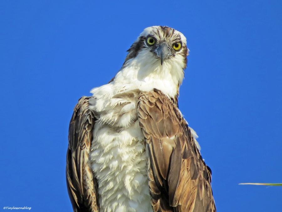 papa osprey portrait ud21