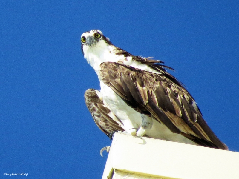 papa osprey scanning on Marriotts roof ud22