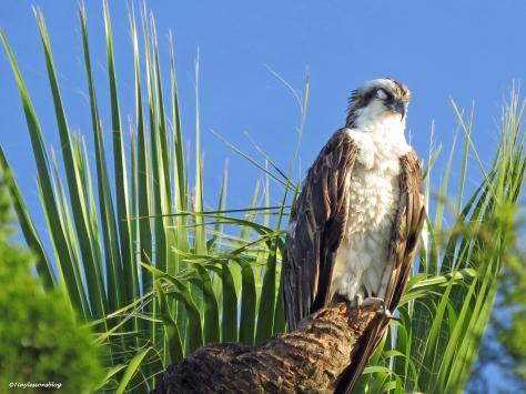 papa osprey sleeping ud21