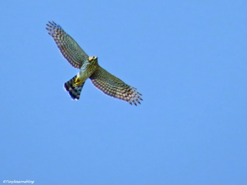 redshouldered hawk Sand Key Park, Clearwater, Florida