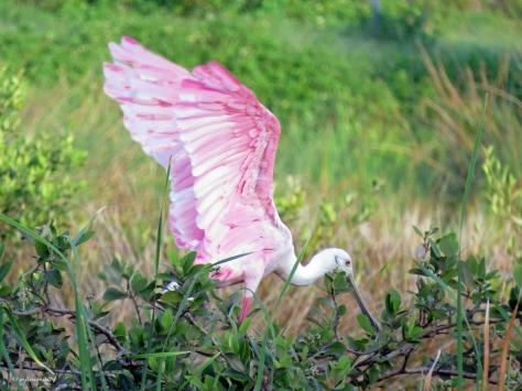 roseate spoonbill landing ud21