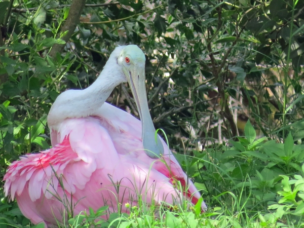 a roseate spoonbill Sand Key park Clearwater Florida