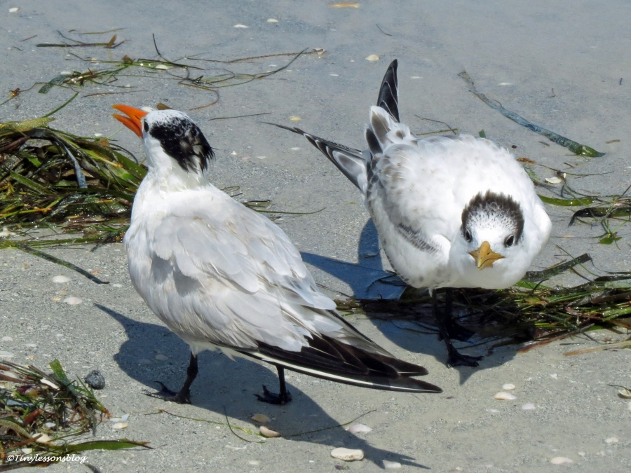royal tern mom and juvenile Sand Key beach, Clearwater, Florida