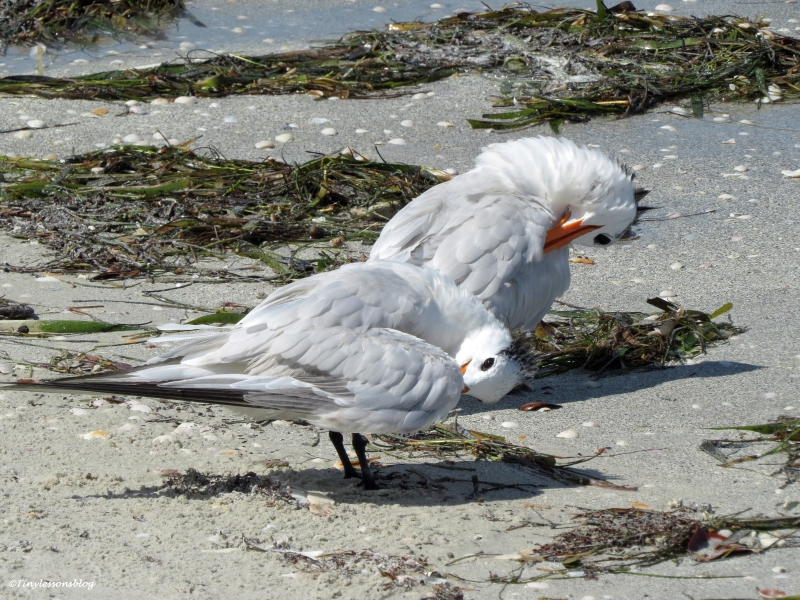 royal terns preening Sand Key beach, Clearwater, Florida