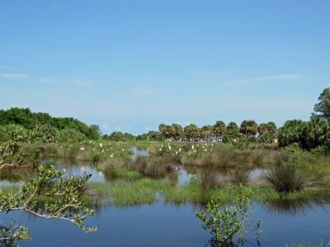 salt marsh birds Sand Key Park, Clearwater, Florida