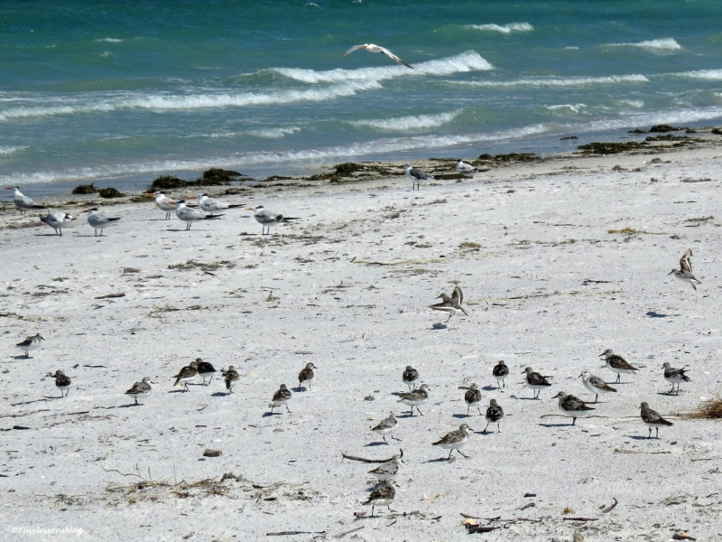 sanderlings Sand Key beach, Clearwater, Florida