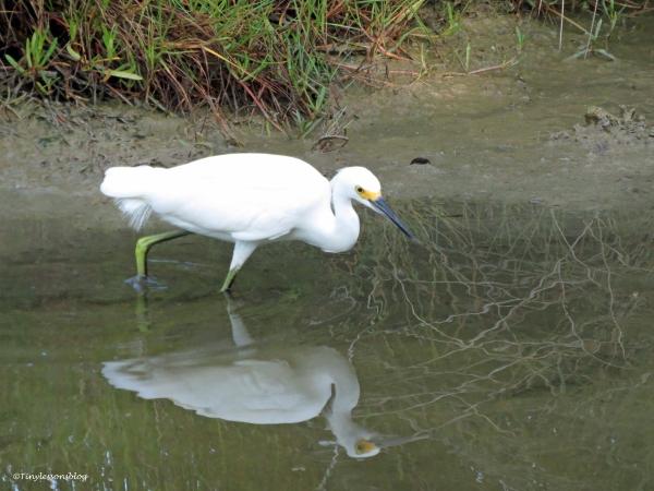snowy egret  2 insp