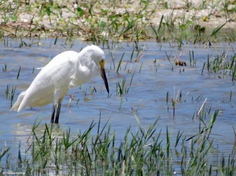 snowy egret 2 ud21
