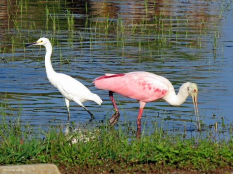 snowy egret and roseate spoonbill Sand Key Park, Clearwater, Florida