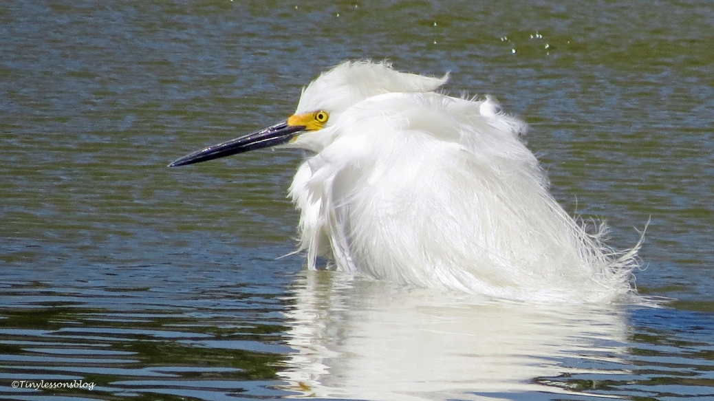 snowy egret sitting in water 16x9