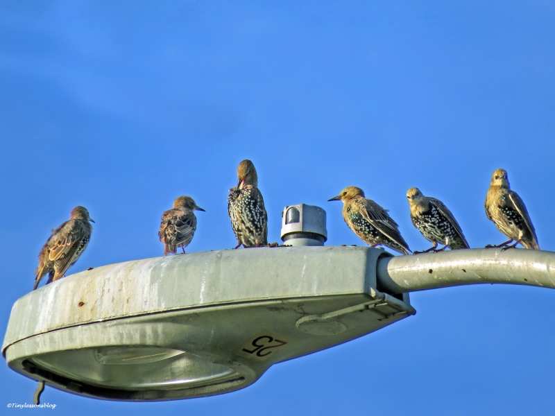starling family at sunrise ud21