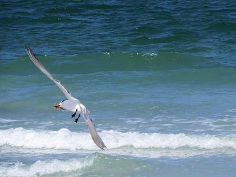 royal tern caught a fish Sand Key beach, Clearwater, Florida