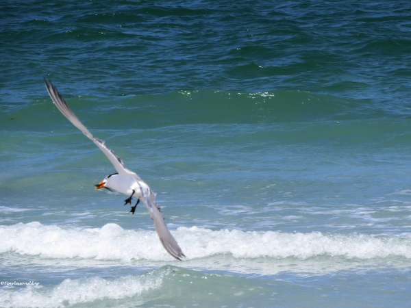 royal tern caught a fish Sand Key beach, Clearwater, Florida