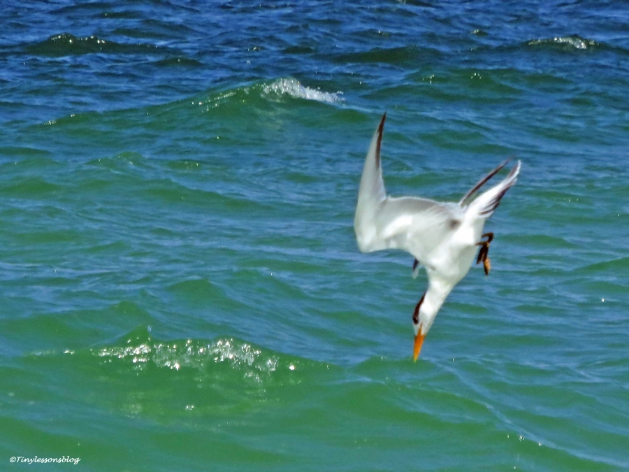 royal tern divig Sand Key beach, Clearwater, Florida