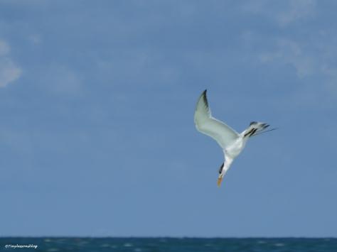 Royal Tern diving Sand Key beach, Clearwater, Florida