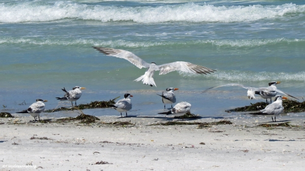 terns Sand Key beach, Clearwater, Florida
