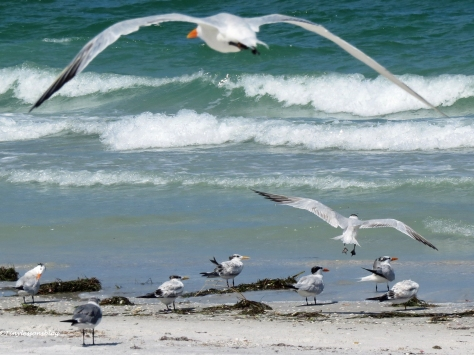 terns on the beach Sand Key, Clearwater, Florida