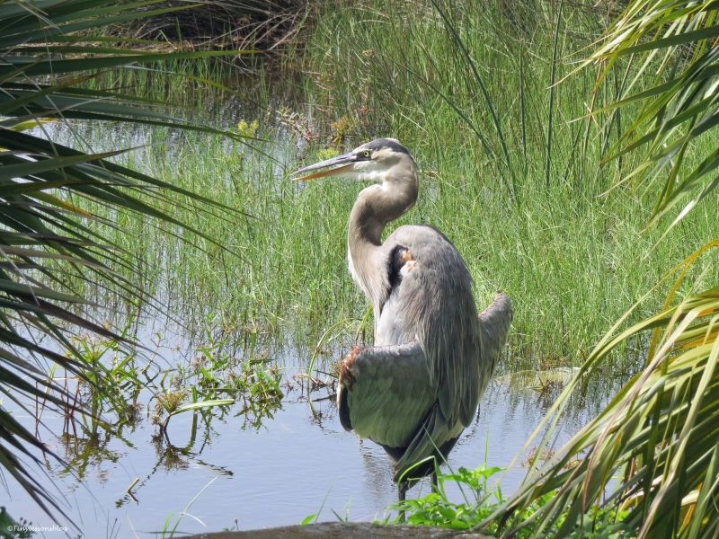 great blue heron inspects the marsh Sand Key park Clearwater Florida