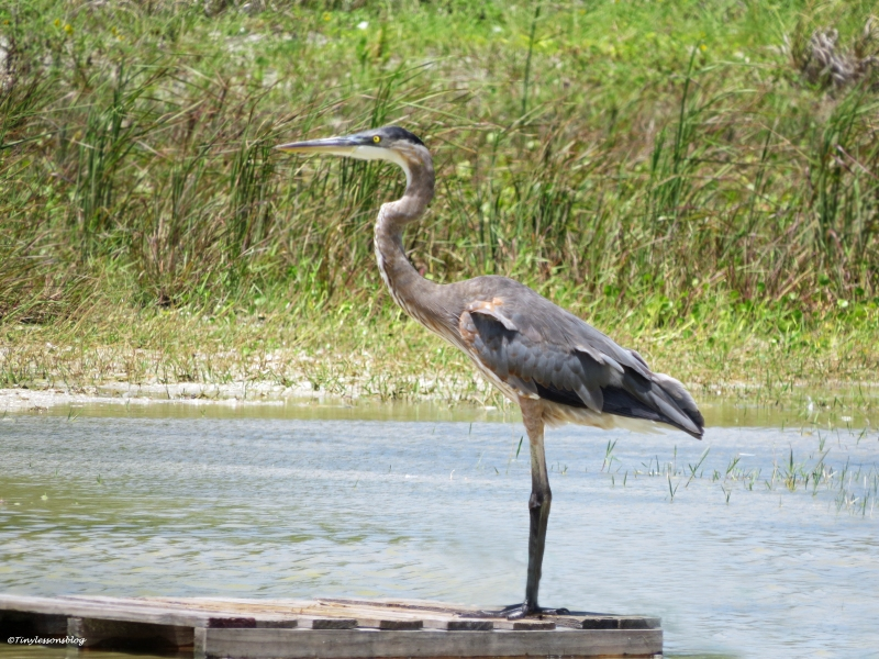 theyoung great blue heron ud21