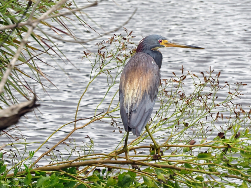 tricolored heron on a stormy day Sand Key park Clearwater Florida