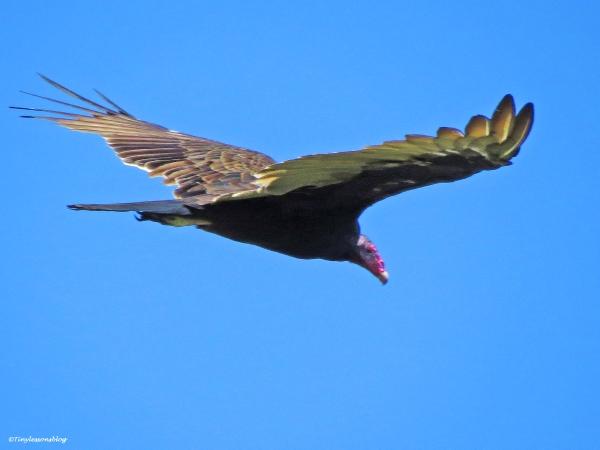 turkey vulture 2 jax