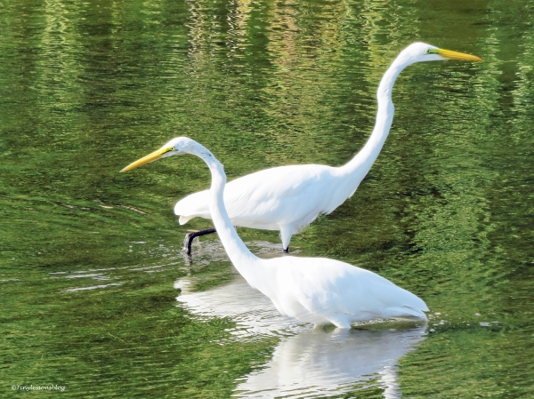 two great egrets ud22