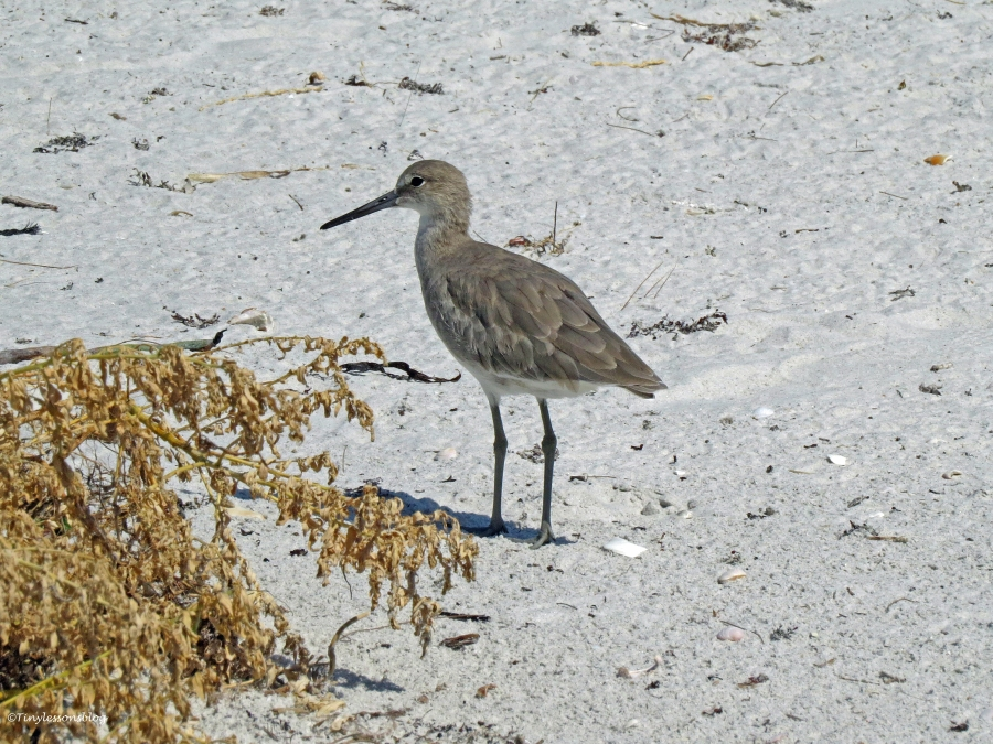 young willet Sand Key beach, Clearwater, Florida