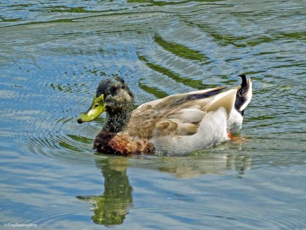 a male mallard duck molting into breeding plumage ud24