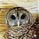 barred owl SCBS G2