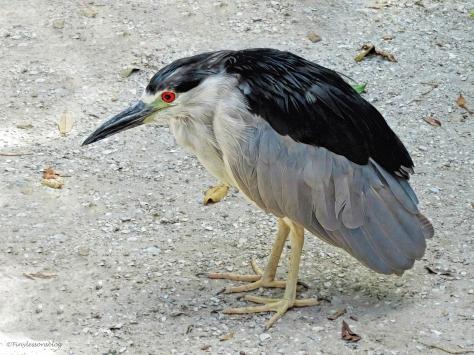 old black-crowned night heron at scbs