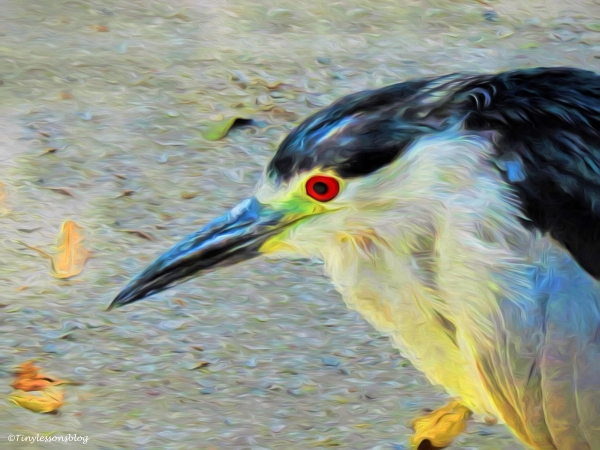 black-crowned night heron portrait paint