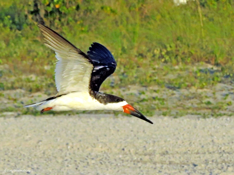 black skimmer in flight Ud24
