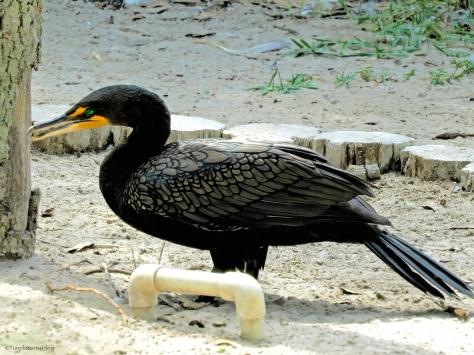 cormorant at scbs