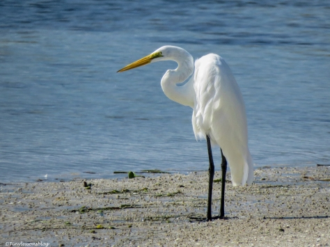 great egret at clearwater bay florida