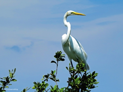 great egret on the top ud24